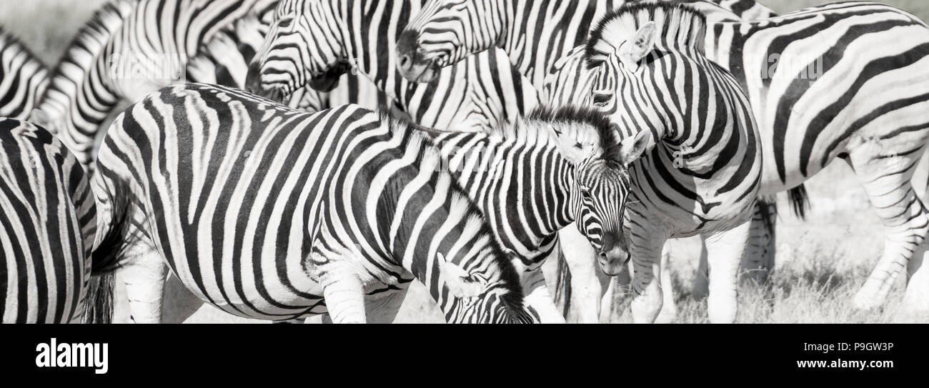 Zebra Herd Oblong Black And White Stripe Full Frame Stock Photo