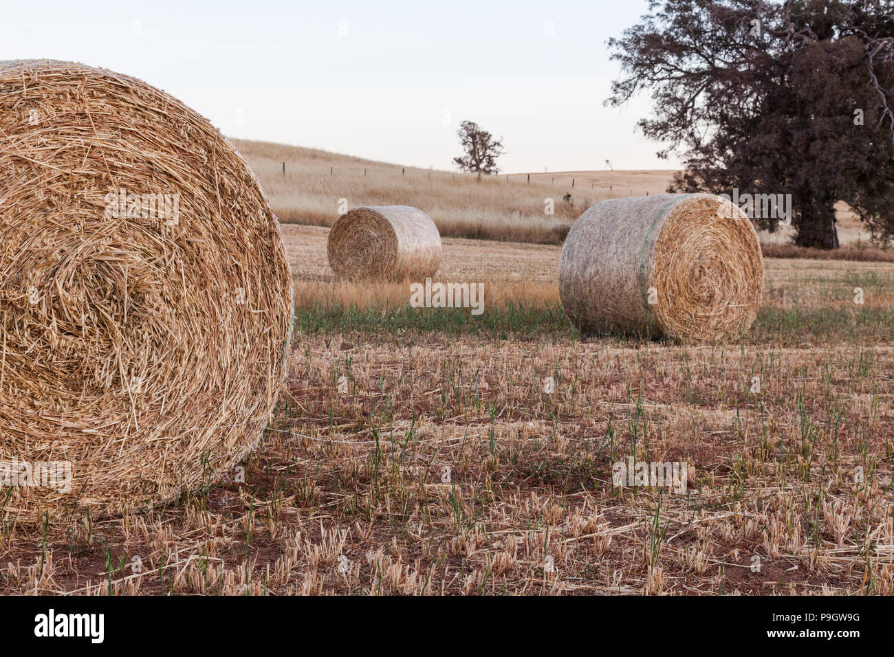 Freshly rolled haybails on a countryside in the Adelaide hills South Australia on 22nd November 2012 - Stock Image