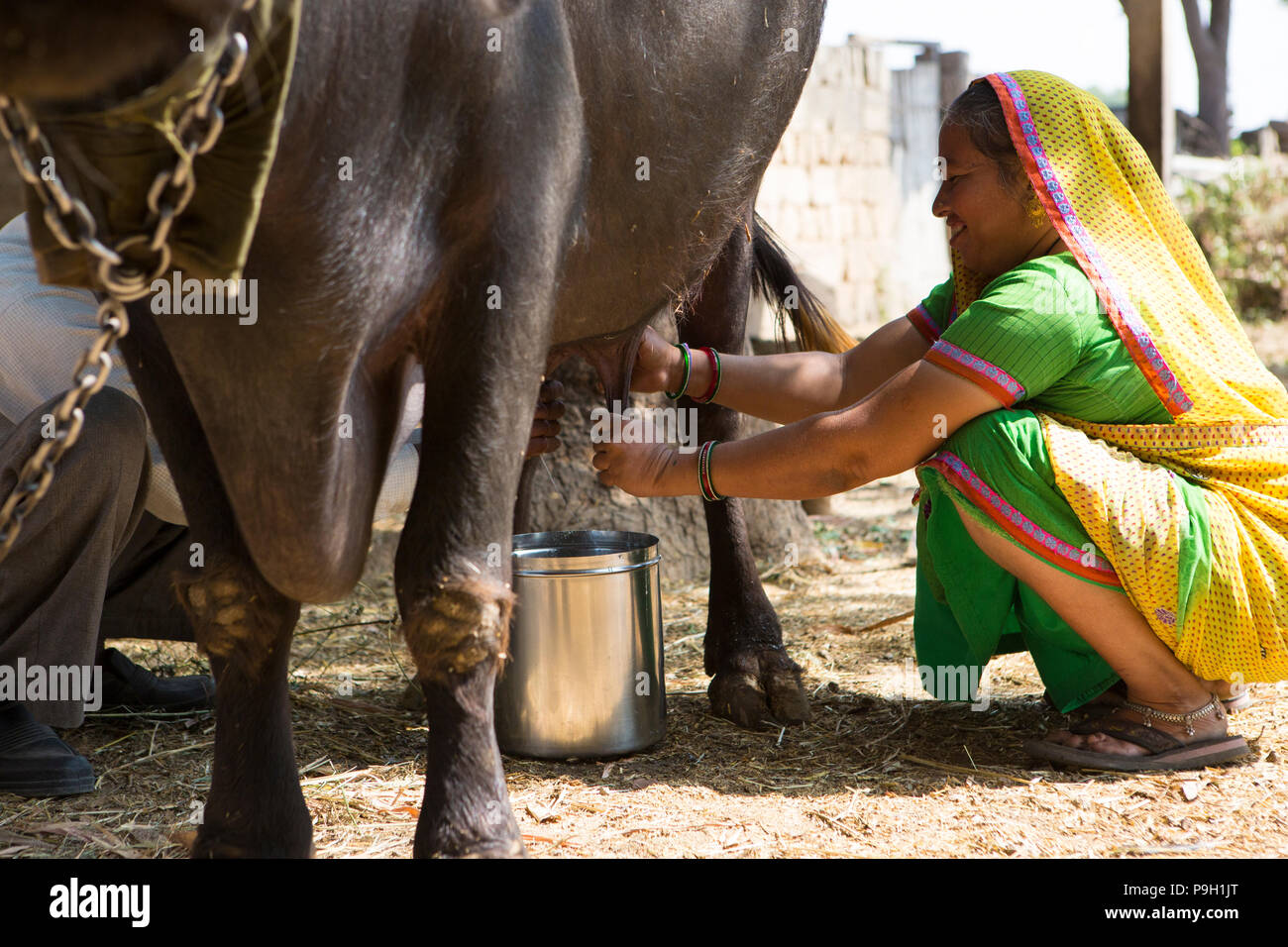 A woman milking their cow on her farm in Ahmedabad, India. - Stock Image