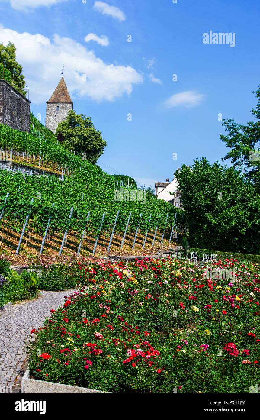 Medieval rose garden in Rapperswil, Switzerland, colorful roses, green grass, blue sky, old tower - Stock Image