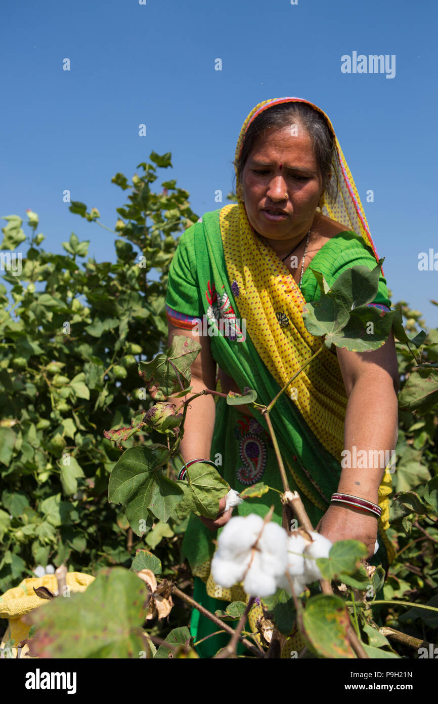 A farmer harvesting cotton on their farm in Ahmedabad, India. - Stock Image