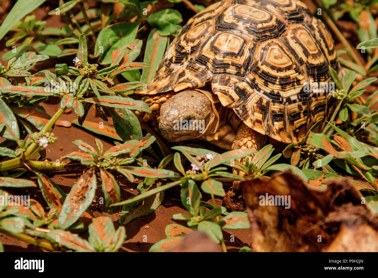 Leopard tortoise - Geochelone pardalis - out looking for food in Namibia. - Stock Image
