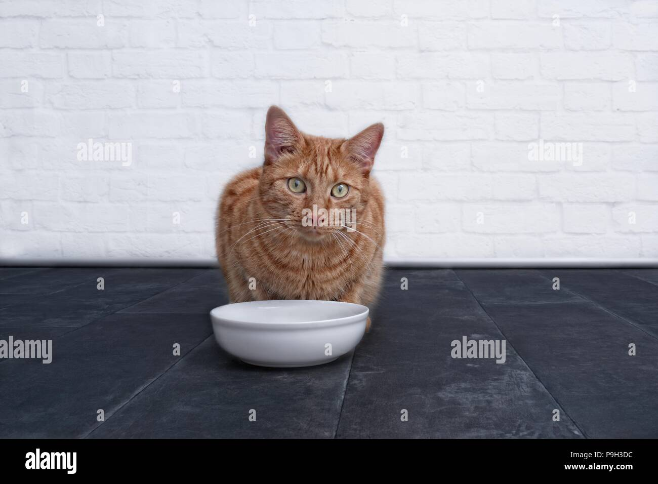 Cute ginger cat waiting for food. - Stock Image