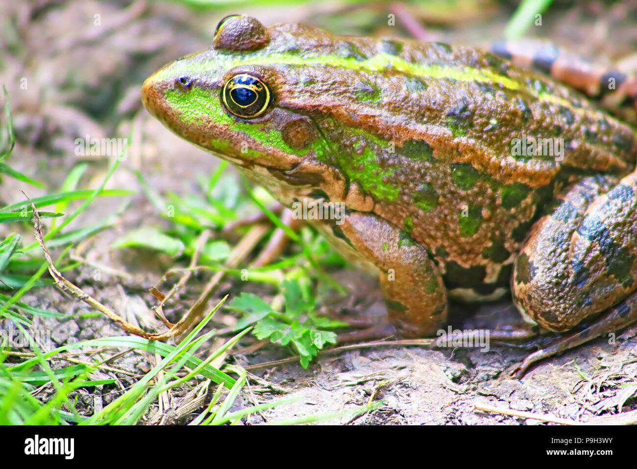 The marsh frog (Pelophylax ridibundus belongs to the family of true frogs) in the mud - Stock Image