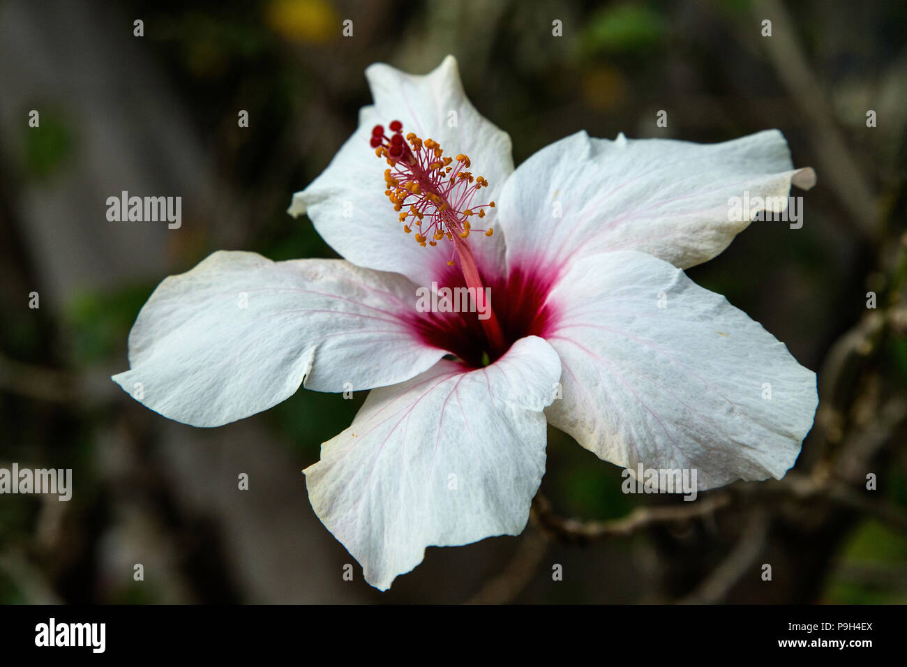 White And Red Hibiscus Flower Stock Photo Alamy