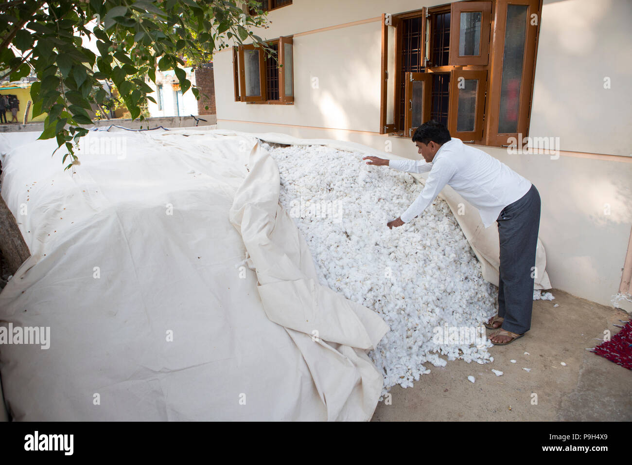 A cotton farmer covers hup his cotton harvest witha sheet outside his home in Madhya Pradesh, India - Stock Image