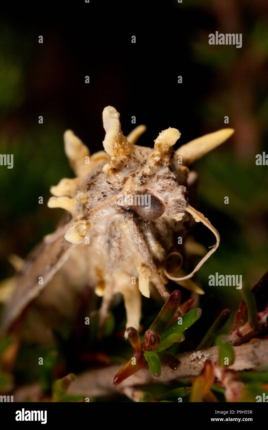 A dead moth that has been infected with fungi whose fruiting bodies are sprouting from it. Research would indicate it is a type of Cordyceps fungi of  - Stock Image