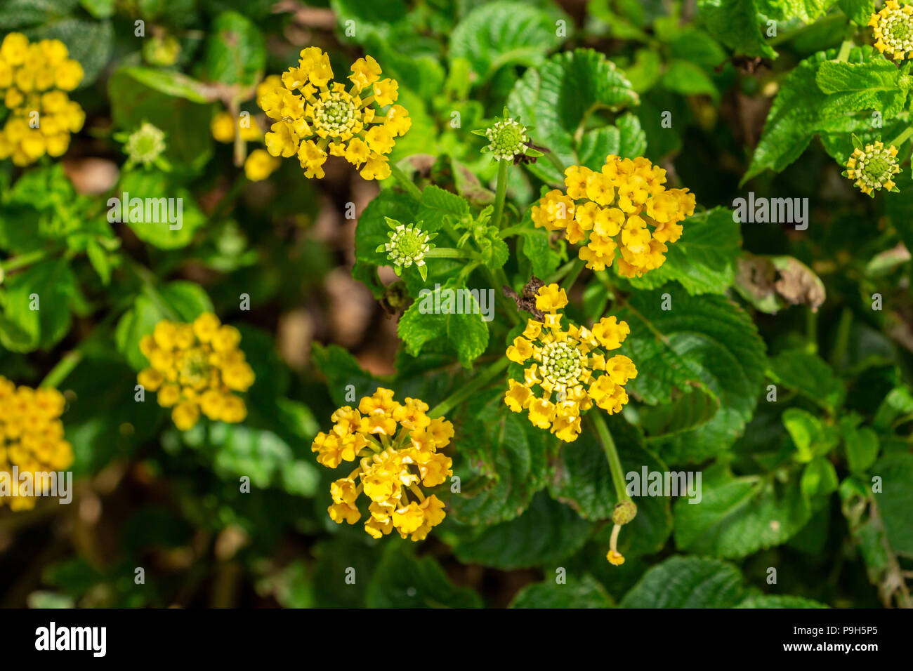 Pineland Lantana Lantana Depressa Yellow Flowers Endangered In