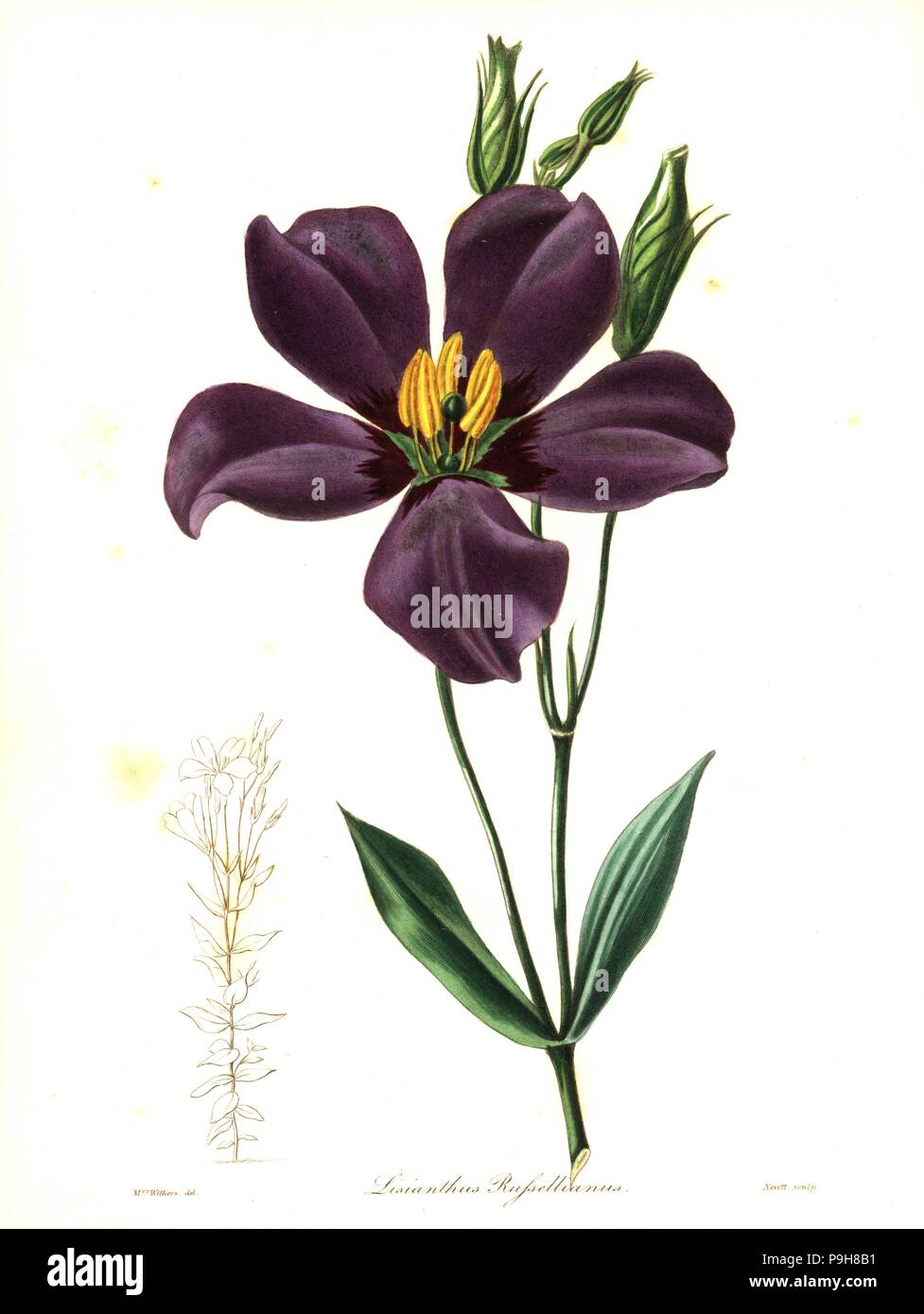 Texas bluebells, Eustoma grandiflorum (Duke of Bedford's lisianthus, Lisianthus russellianus). Handcoloured copperplate engraving by S. Nevitt after a botanical illustration by Mrs Augusta Withers from Benjamin Maund and the Rev. John Stevens Henslow's The Botanist, London, 1836. - Stock Image