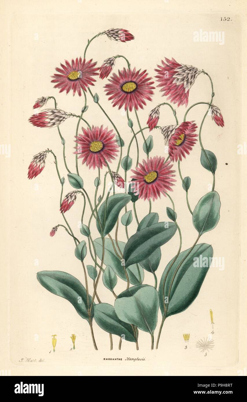Mangles' rhodanthe, Rhodanthe manglesii. Handcoloured copperplate engraving by Frederick W. Smith after J. Hart from John Lindley and Robert Sweet's Ornamental Flower Garden and Shrubbery, G. Willis, London, 1854. - Stock Image