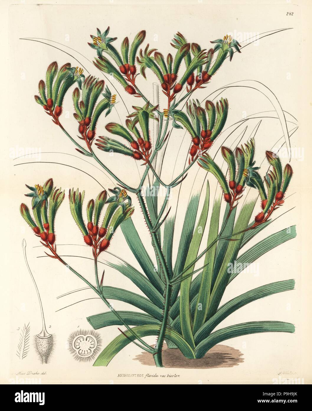 Tall Kangaroo Paw Anigozanthos Flavidus Two Coloured Anigozanthus Anigosanthos Flavida Var Bicolor Handcoloured Copperplate Engraving By G Barclay After Miss Sarah Drake From John Lindley And Robert Sweet S Ornamental Flower Garden And Shrubbery