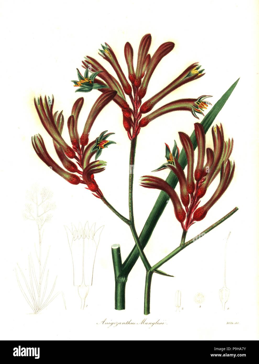 Red And Green Kangaroo Paw Anigozanthos Manglesii Mr Mangles Anigozanthus Anigozanthus Manglesii Handcoloured Copperplate Engraving After A Botanical Illustration By Mills From Benjamin Maund And The Rev John Stevens Henslow S The Botanist