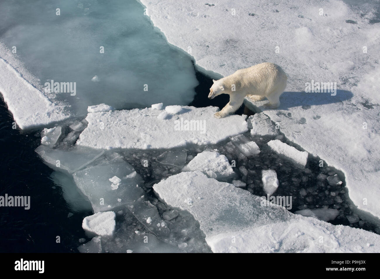 Polar Bear walking on sea ice - Stock Image