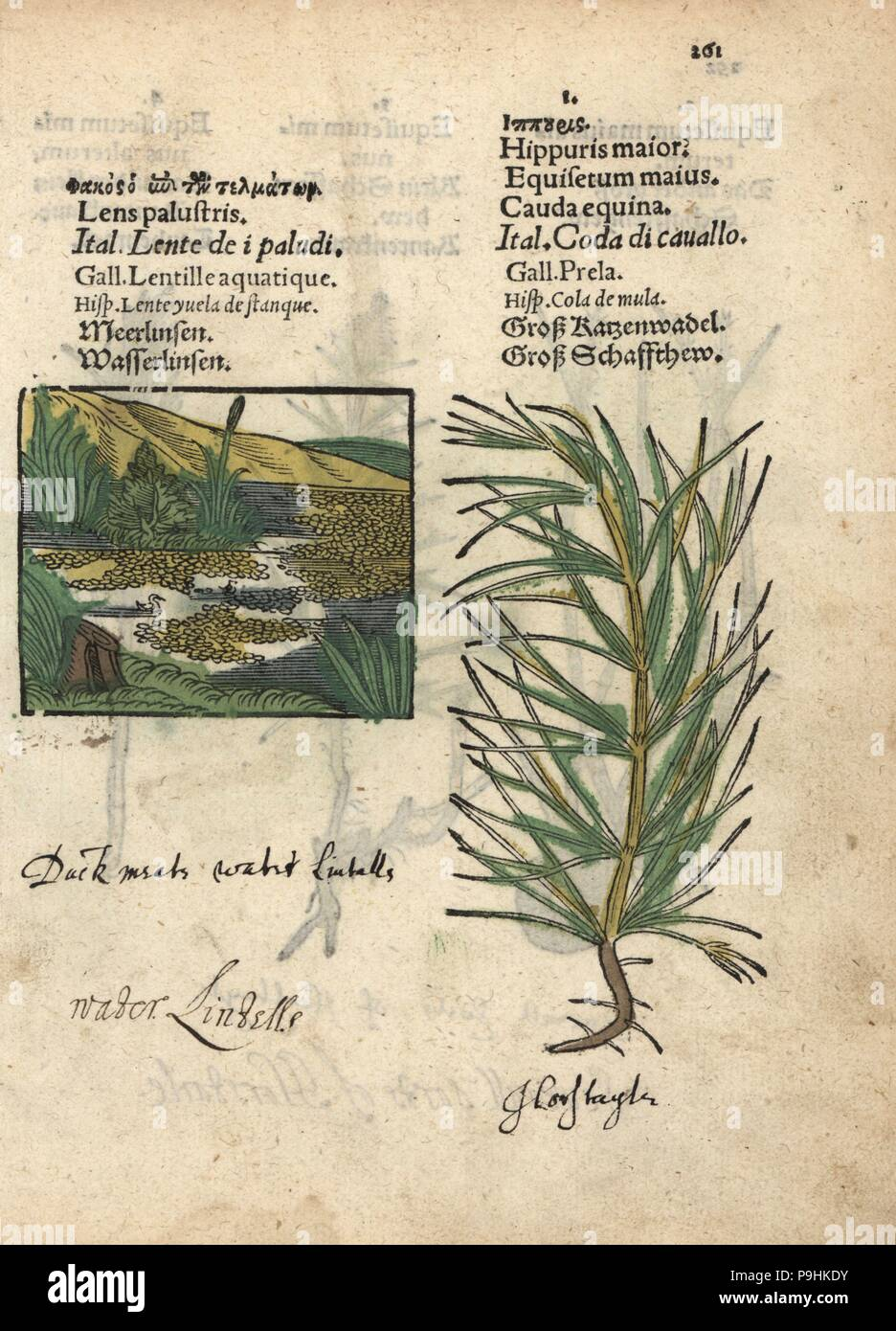 Duckweed, Lemna minor, and marsh horsetail, Equisetum palustre. Handcoloured woodblock engraving of a botanical illustration from Adam Lonicer's Krauterbuch, or Herbal, Frankfurt, 1557. This from a 17th century pirate edition or atlas of illustrations only, with captions in Latin, Greek, French, Italian, German, and in English manuscript. Stock Photo