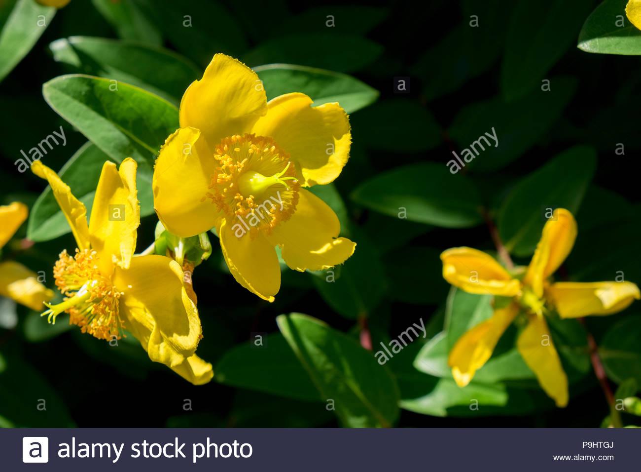 Johanniskraut, or St. John's Wort, an herbal alternative anti-depressant. Stock Photo