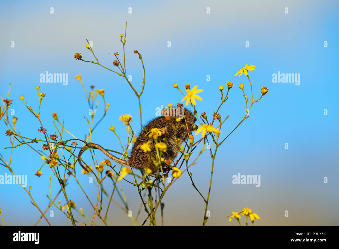 Striped Mouse feeding on Chrysanthemoides flower - Stock Image