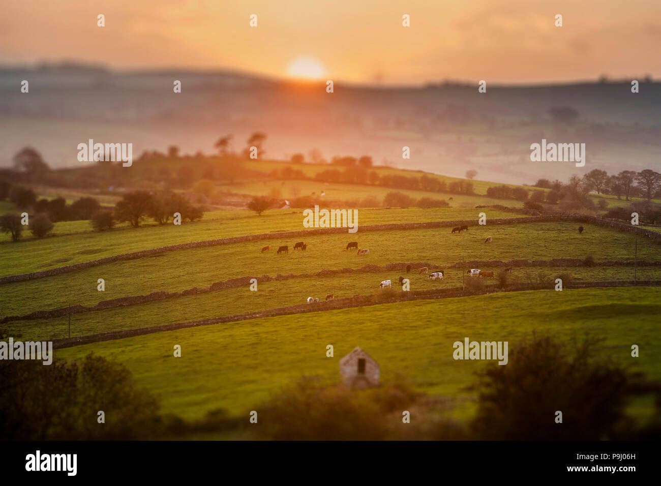 Cows Grazing at Sunset in Derbyshire with Tilt Shift Focus Effect - Stock Image