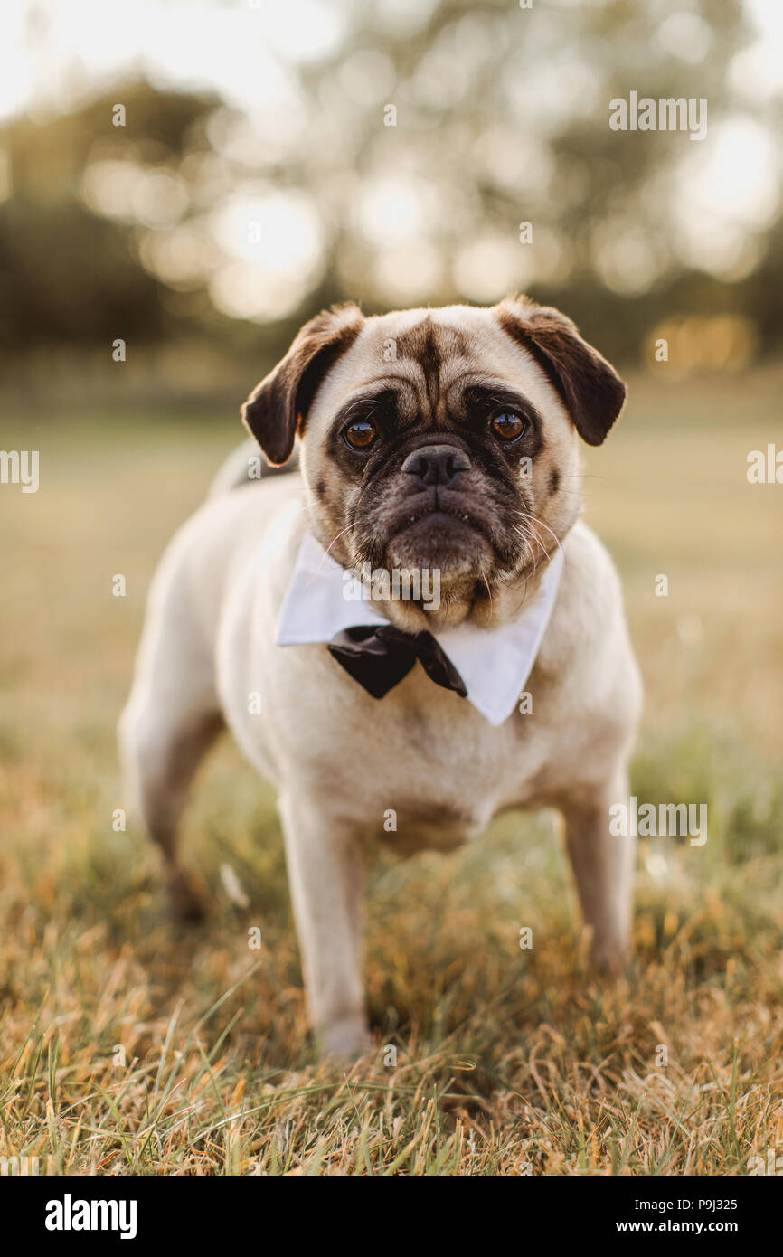 Male pug wearing a bow tie for wedding - Stock Image