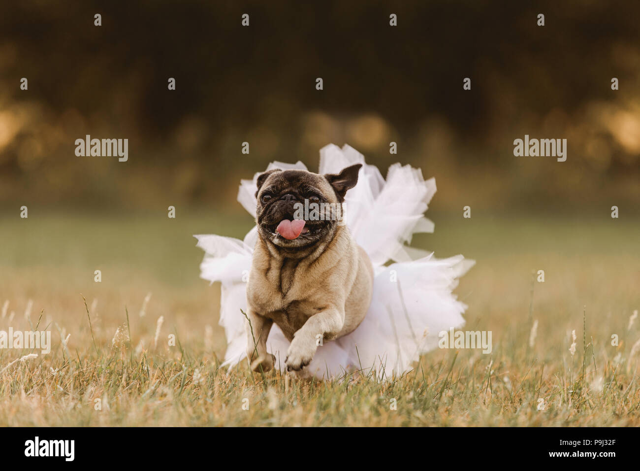 Happy pug running and wearing a tutu for a wedding or birthday as a pug princess or for a celebration - Stock Image