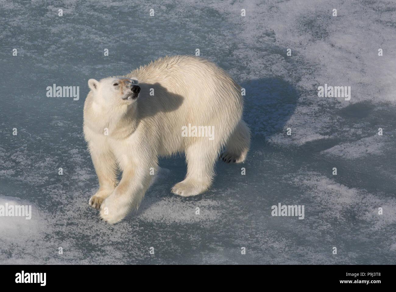 Large Polar Bear on sea ice near Svalbard - Stock Image