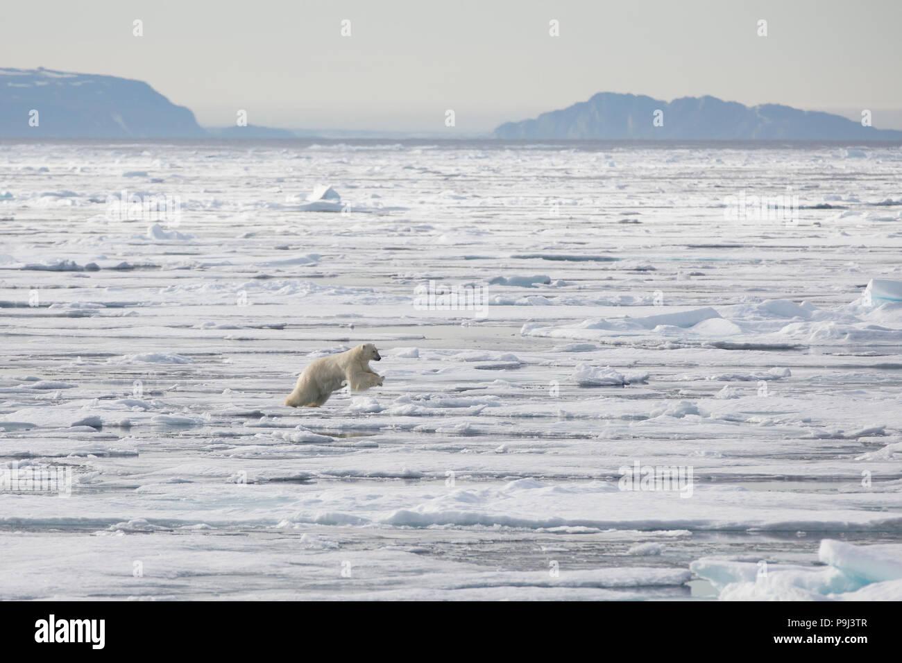 Large Polar Bear jumping across sea ice near Svalbard - Stock Image