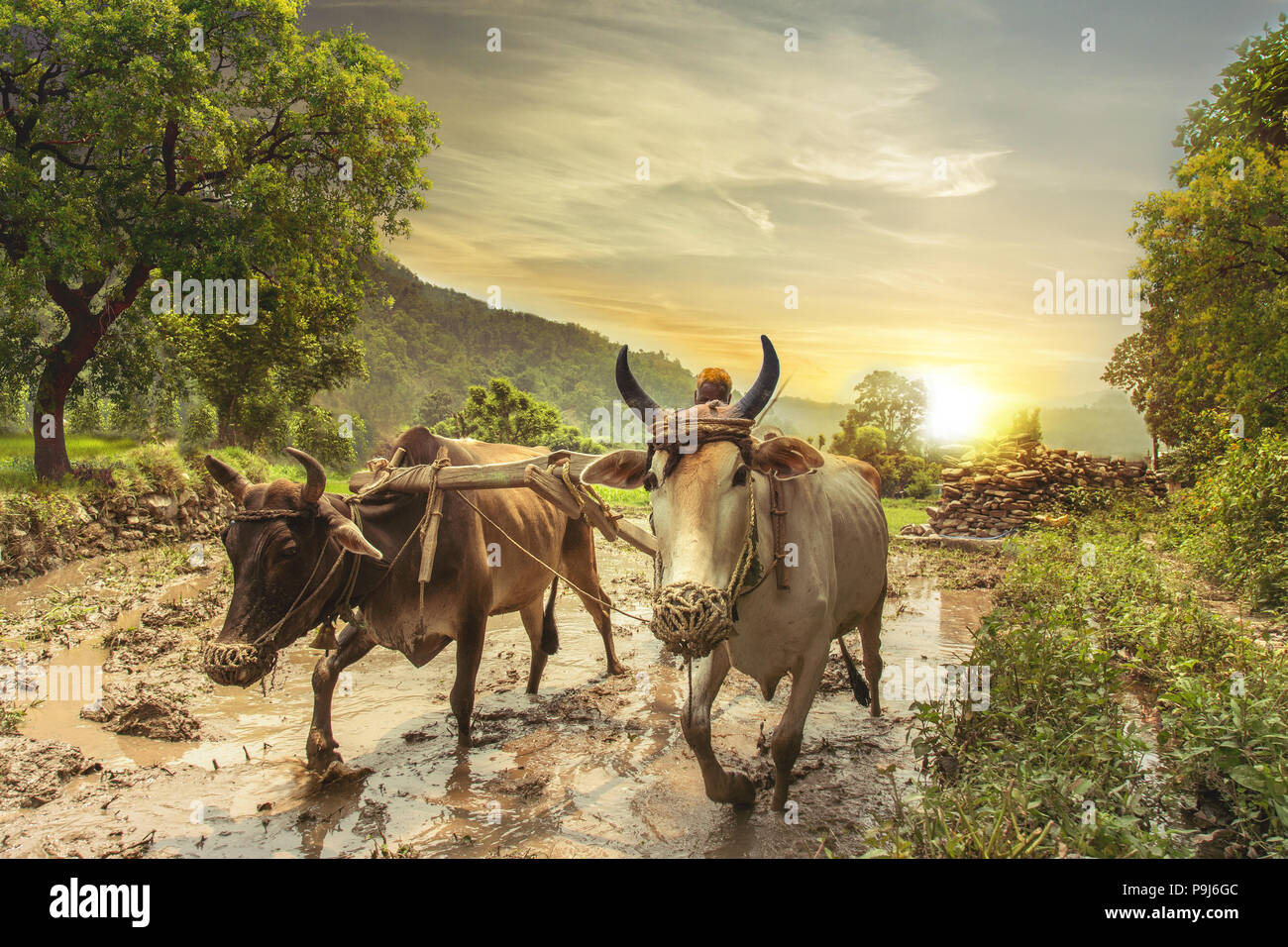 Indian farmer plowing rice fields with a pair of oxen using traditional plough at sunrise. - Stock Image