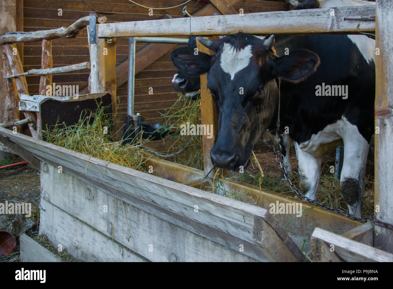 Close up of milking cow eating hay in cowshed - Stock Image