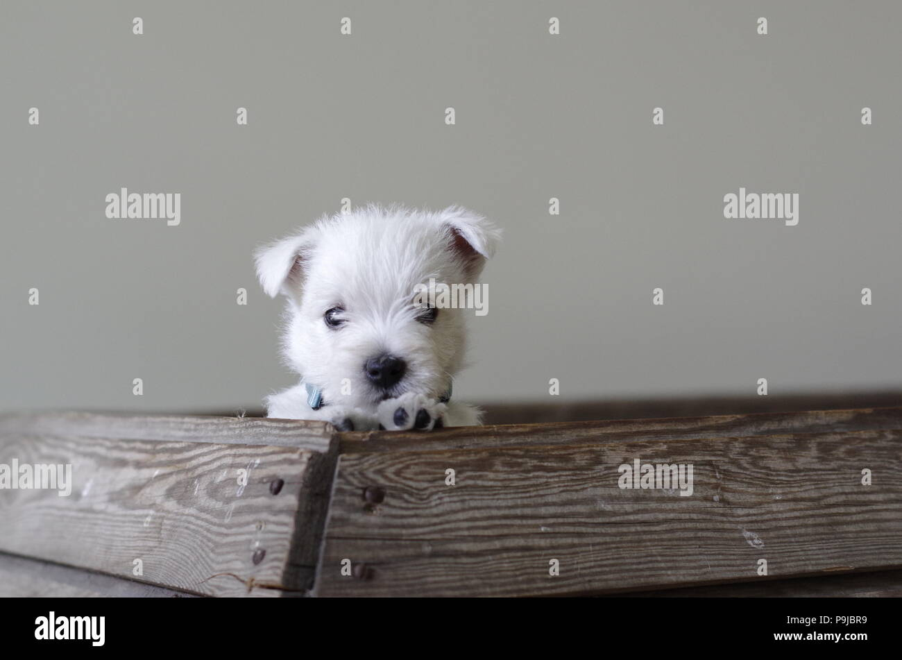 Cute and beautiful Westie puppy with a blue collar looking out of its nest - Stock Image
