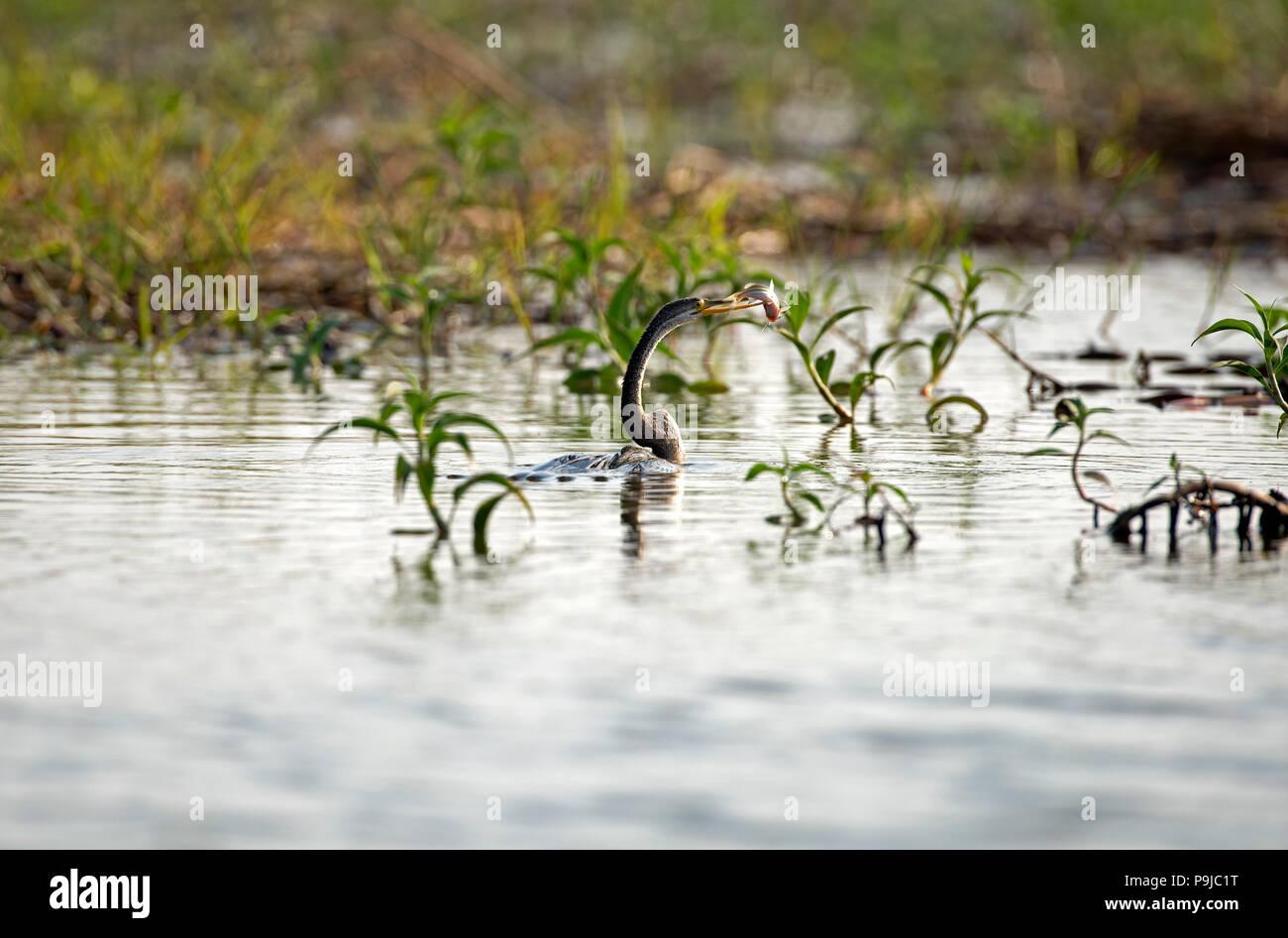 Oriental darter (Anhinga melanogaster), Catching a fish, Thailand - Stock Image