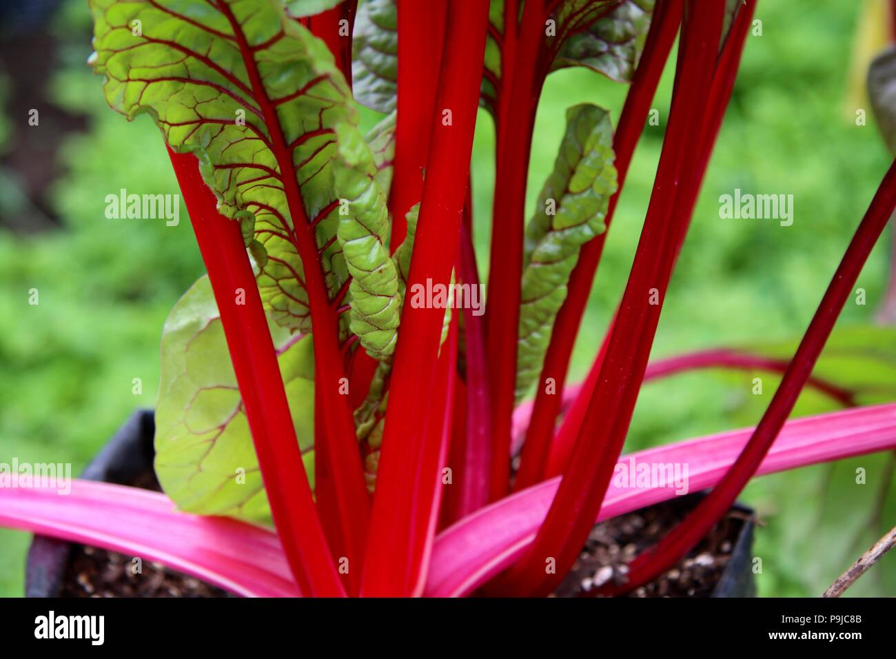 Organic red stemmed chard / silverbeet growing at an organic farm - Stock Image