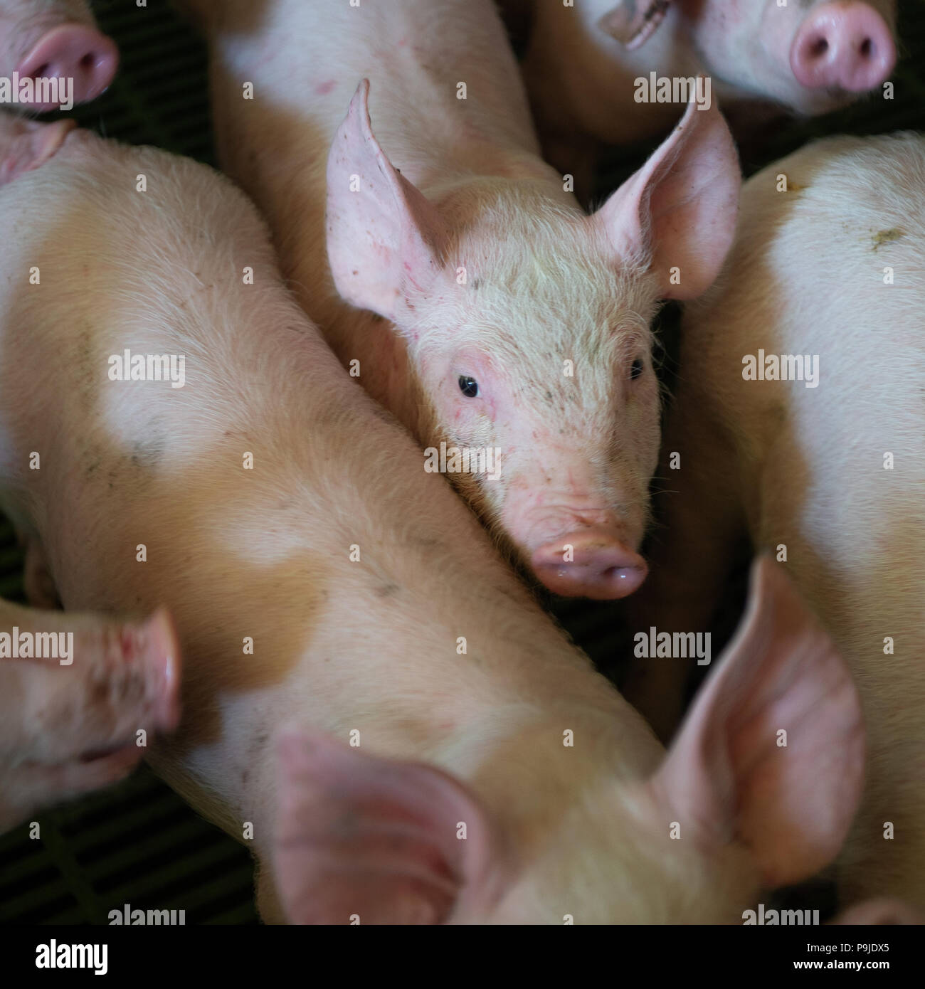 Domestic pigs. Pigs on a farm in the village - Stock Image