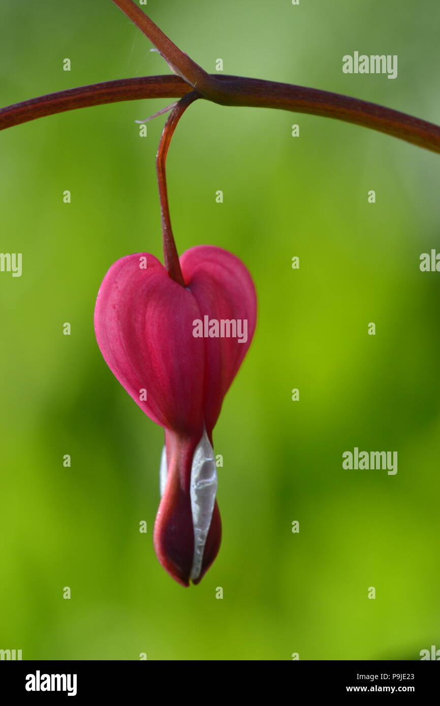 pink Dicentra spectabilis - Stock Image