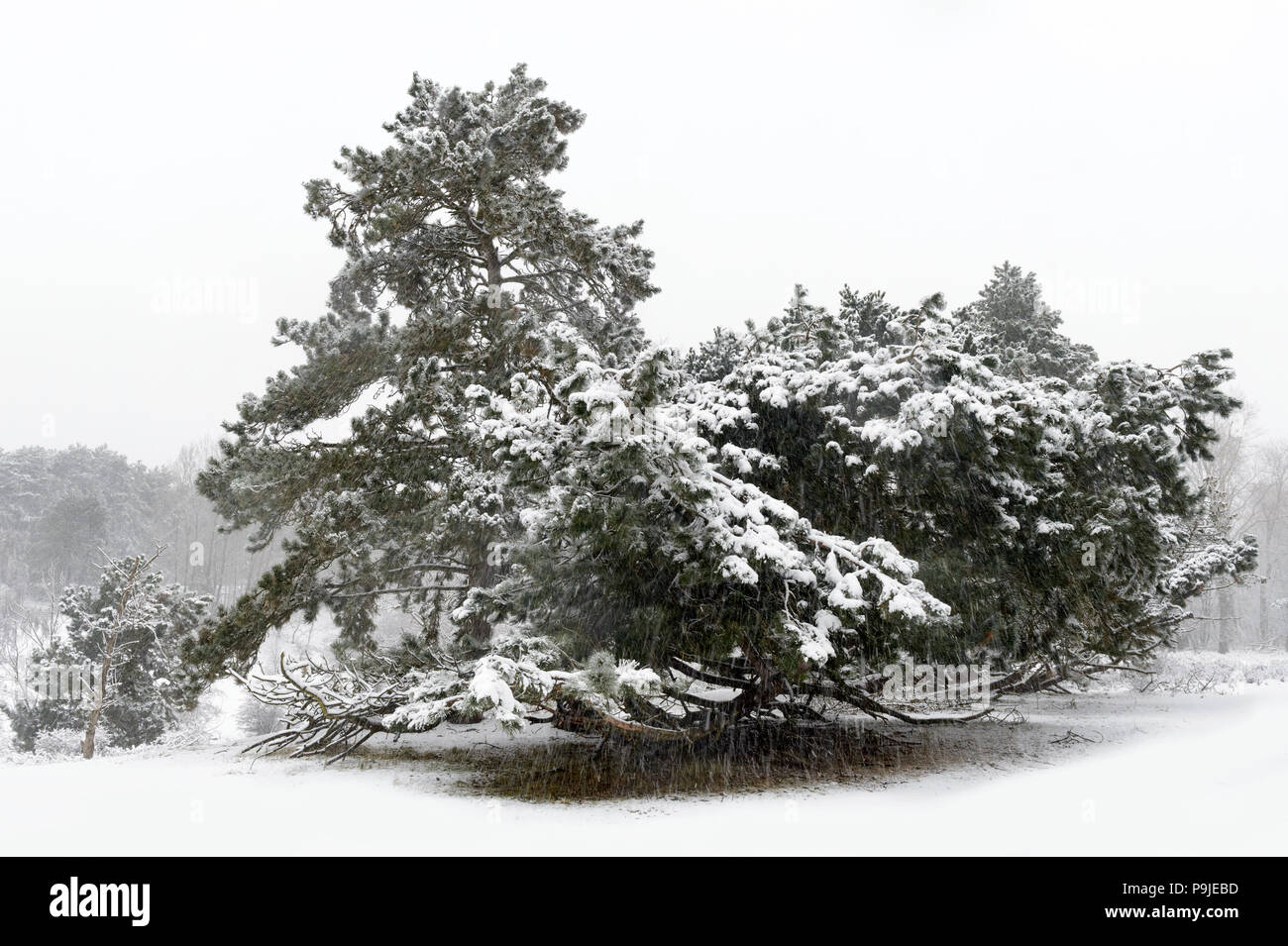 Falling snow on pine tree during winter, Amsterdamse waterleiding duinen, Netherlands. - Stock Image