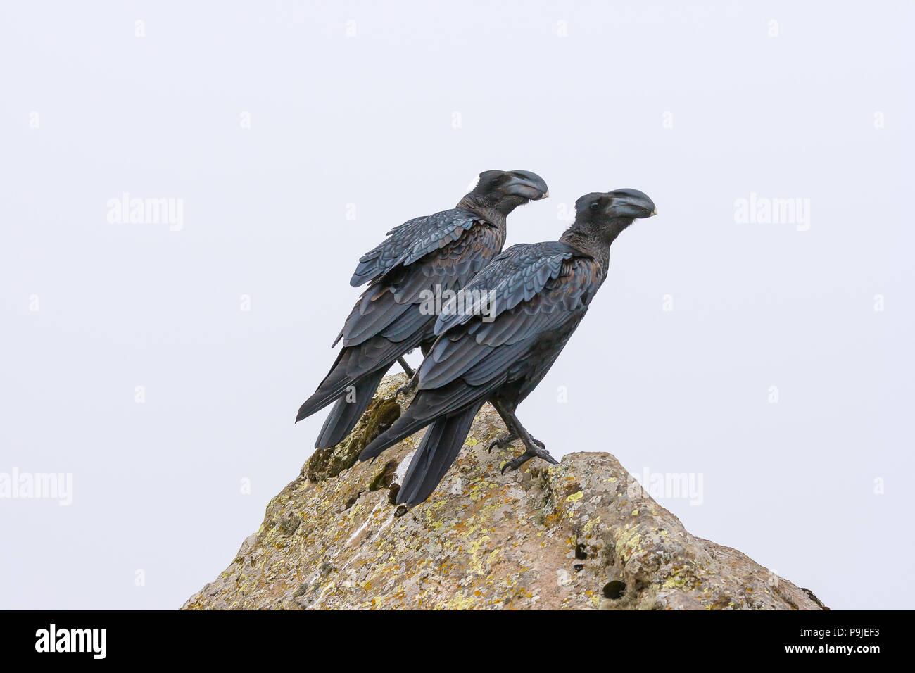 Thick-Billed Raven (Corvus crassirostris), Simien Mountains, Ethiopia. - Stock Image