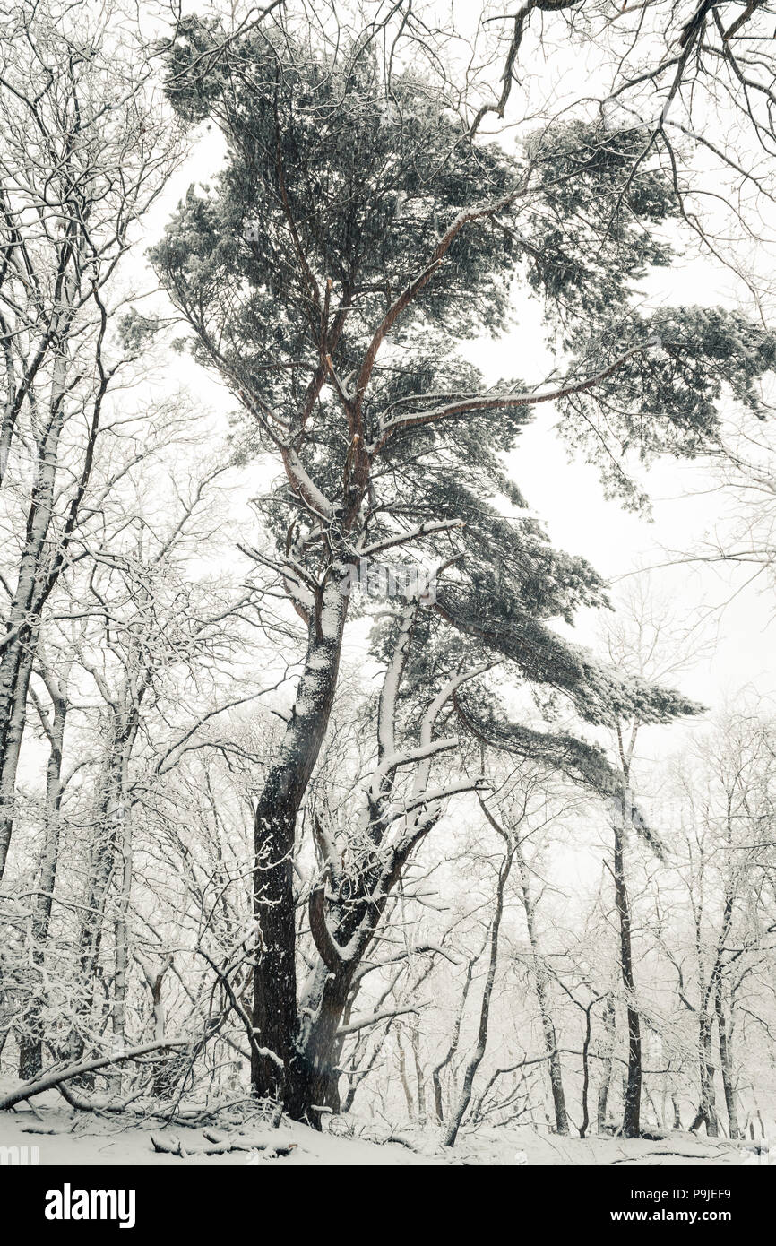 Pine tree in forest during winter snow fall, Amsterdamse waterleiding duinen, Netherlands. - Stock Image