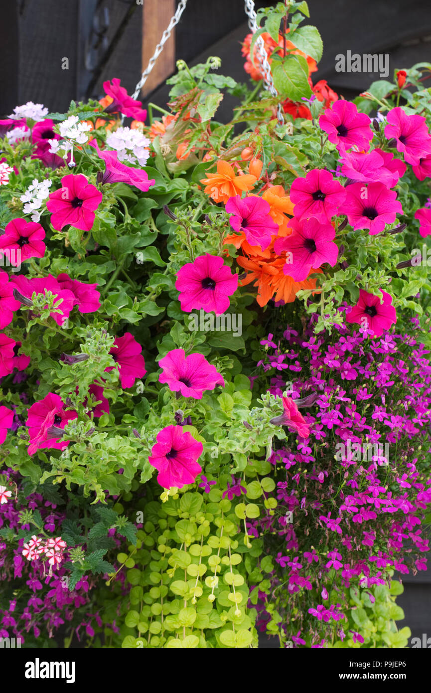 Colourful hanging baskets. - Stock Image