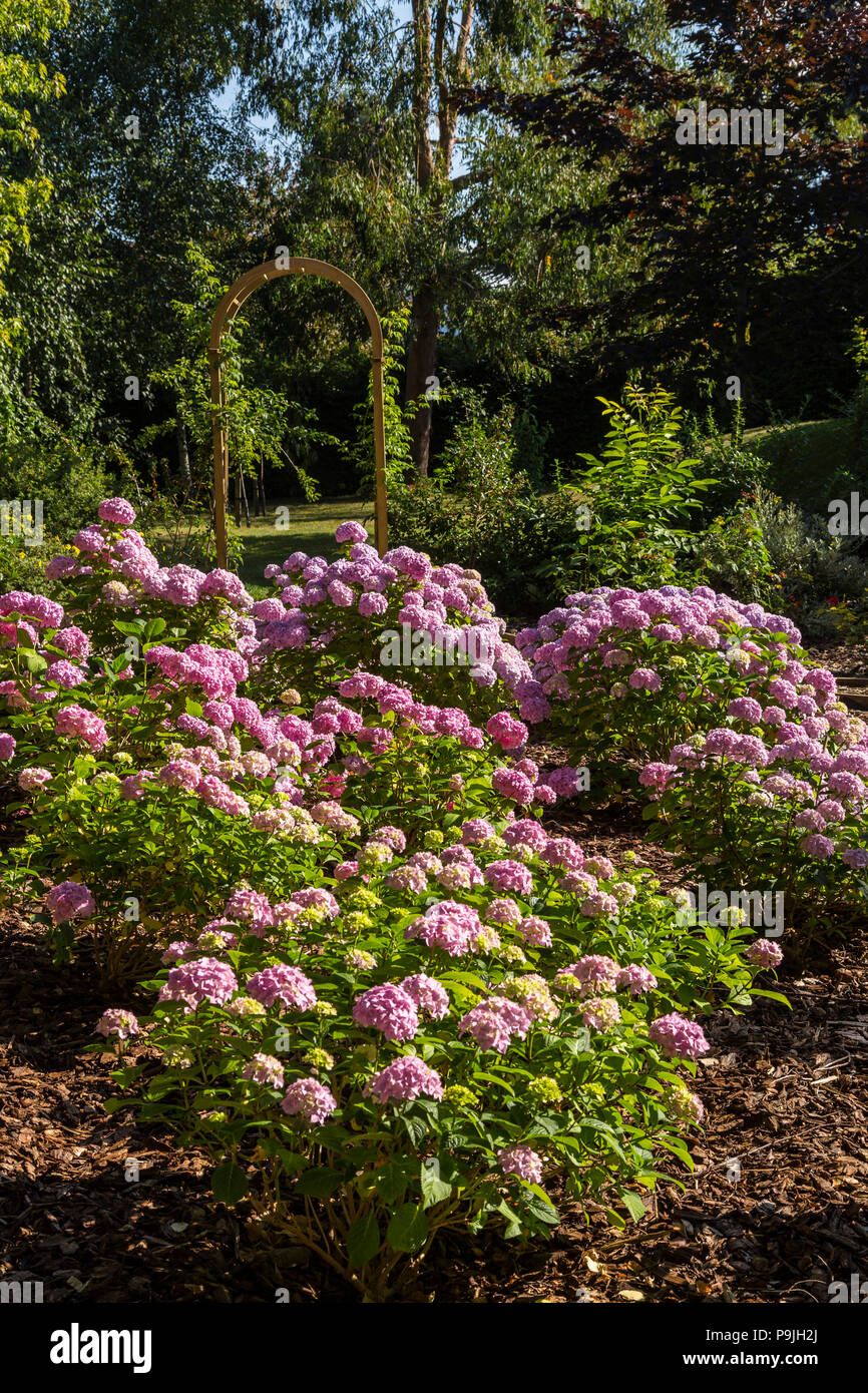 Mop head hydrangea Generale Vicomtesse De Vibraye, pink due to soil alkalinity, in a group with an arch behind. - Stock Image