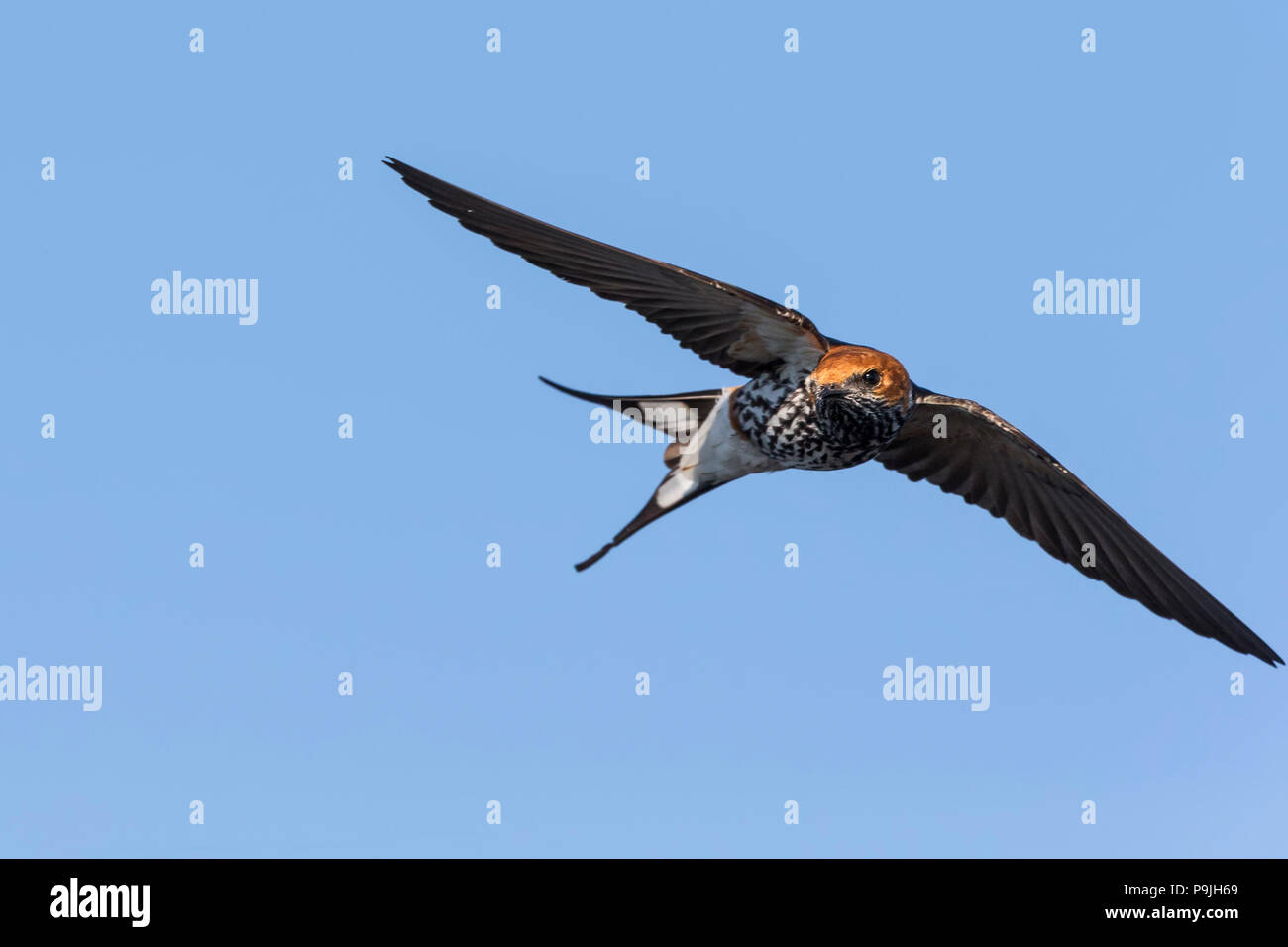 Lesser striped swallow (Cecropis abyssinica), Chobe river, Botswana, - Stock Image