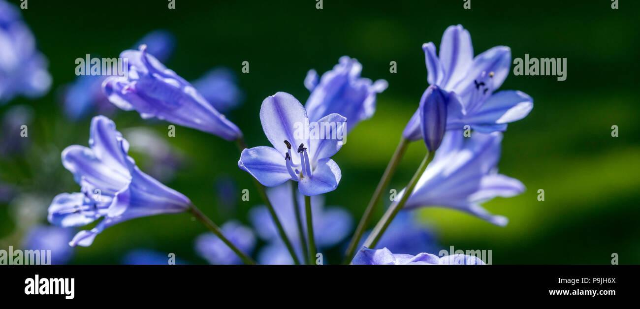 Agapanthus Bluestorm, agapanthus praecox orientalis in flower. - Stock Image
