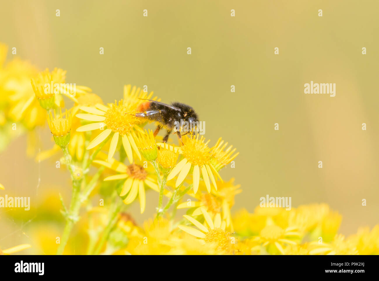 Red tailed bumblebee (UK) on ragwort flowers. The bee is covered in ;pollen dust. - Stock Image