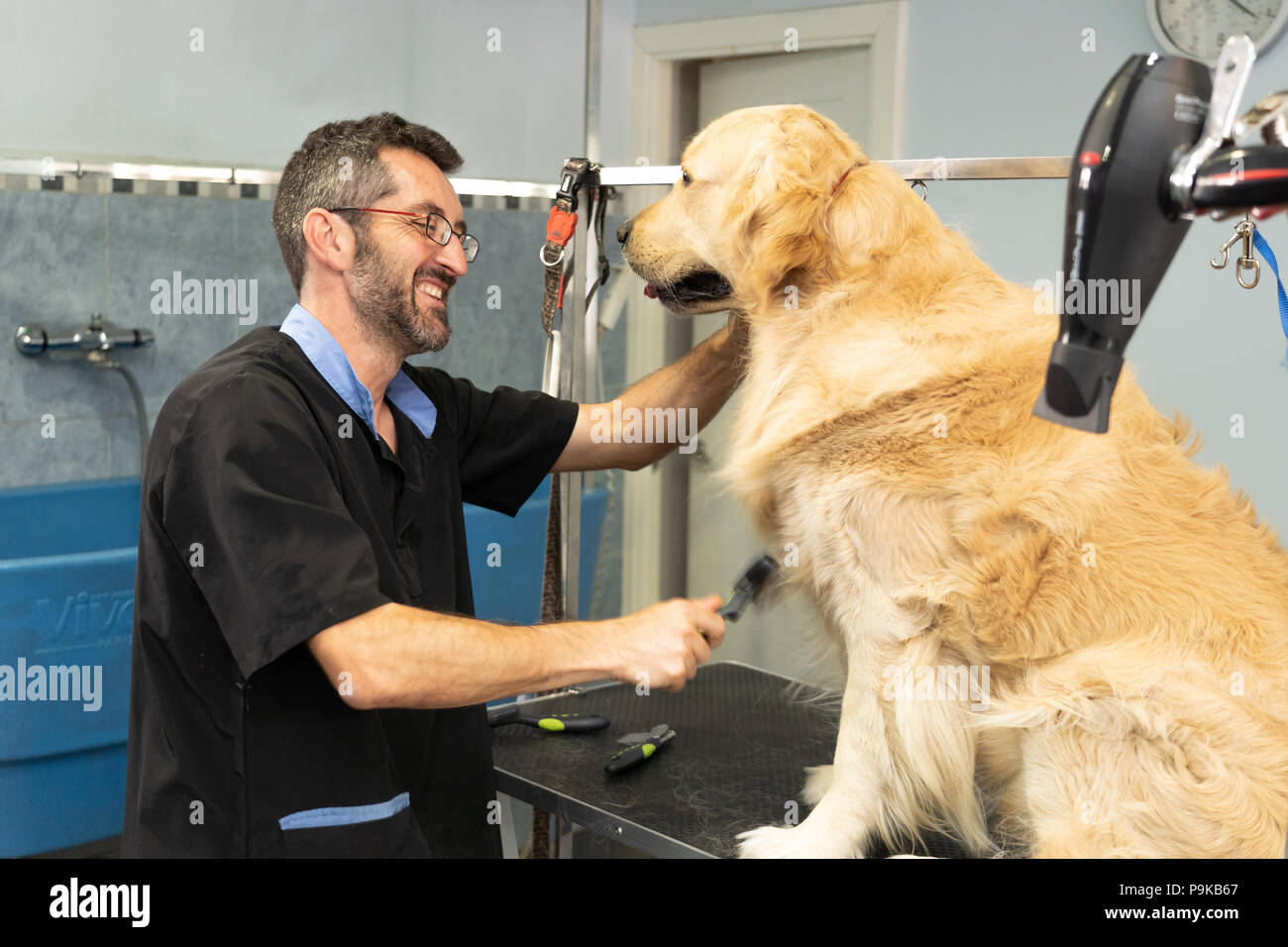 male pet groomer washing and cleaning a golden retriever in grooming salon in keeping your animals clean and healthy concept. - Stock Image