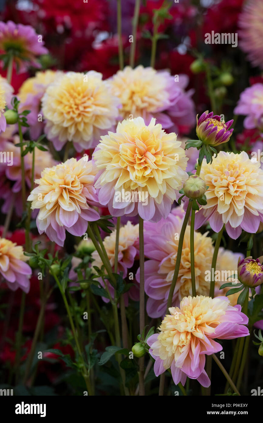 Dahlia Anemone High Resolution Stock Photography And Images Alamy