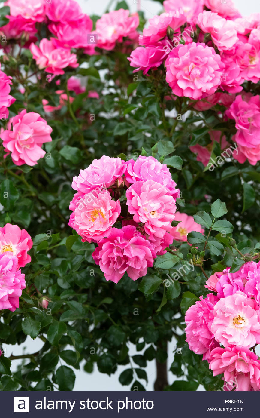Rosa Groundcover Rose Flower Carpet Pink Stock Photo 212485217