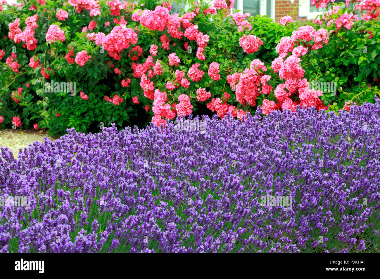 Blue, purple, lavender, pink Roses, front garden, wall, Lavandula, Rosa - Stock Image