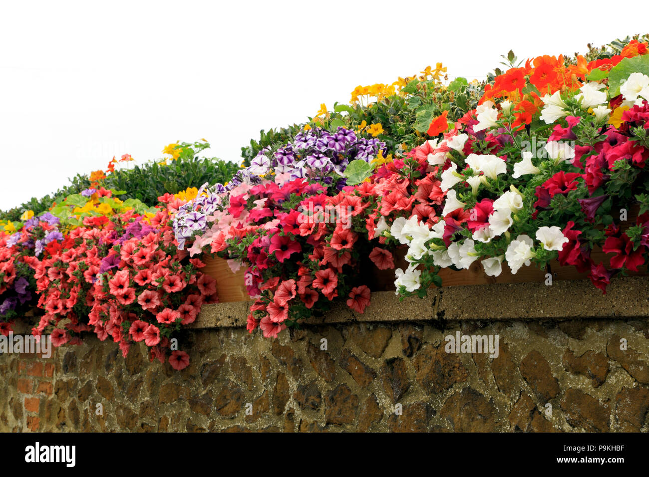 Garden wall, petunias,  purple, red, pink, white, yellow colours - Stock Image