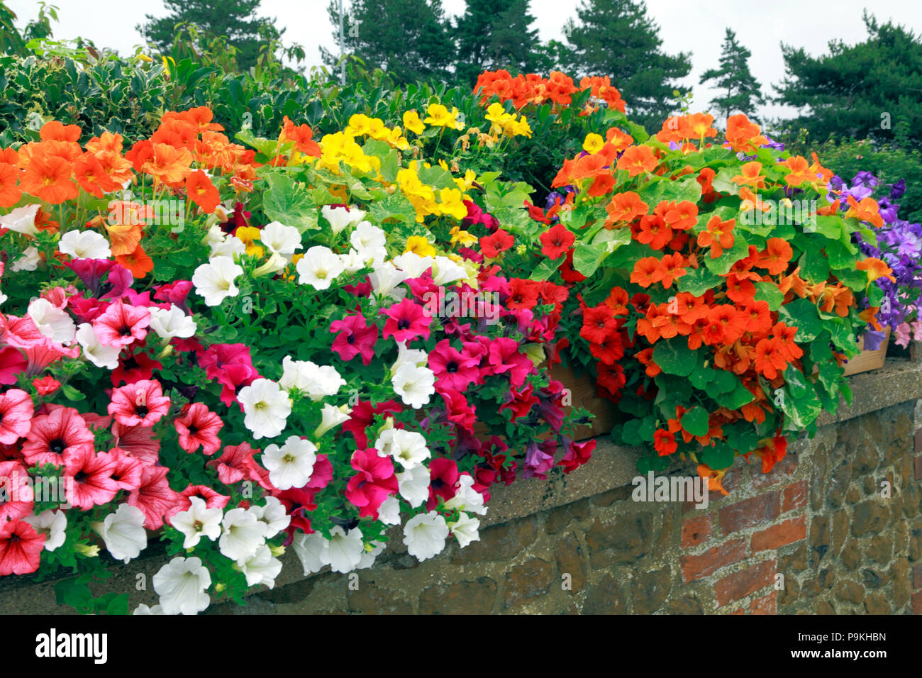 Garden wall, petunias, blue, orange, pink, white, yellow colours - Stock Image
