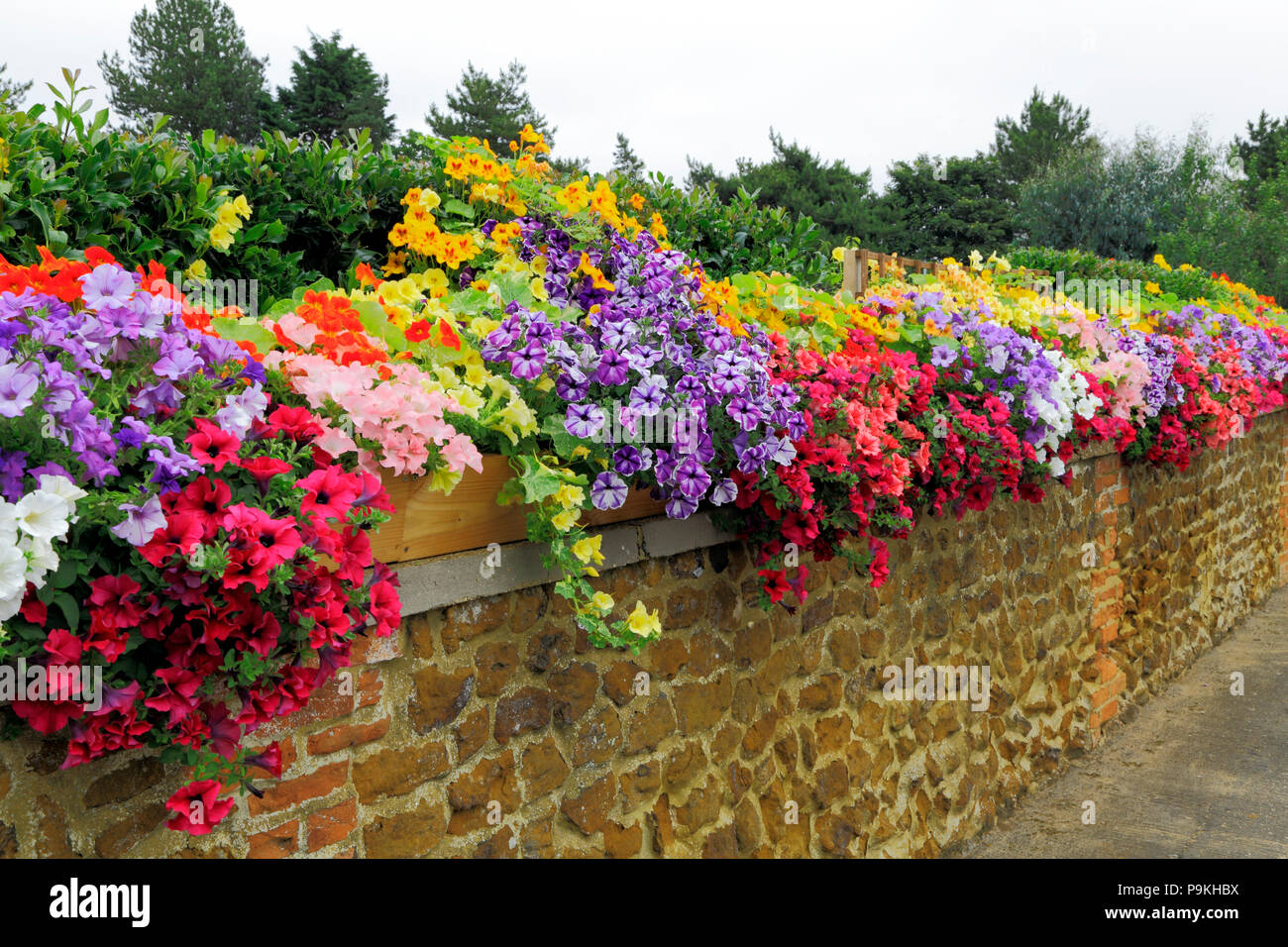 Garden wall, petunias, blue, purple, red, pink, white, yellow colours, various colours - Stock Image