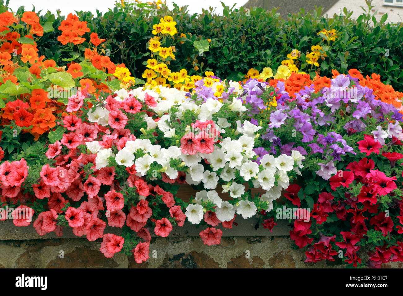 Garden wall, petunias, purple, orange, pink, white, yellow colours, various colours - Stock Image