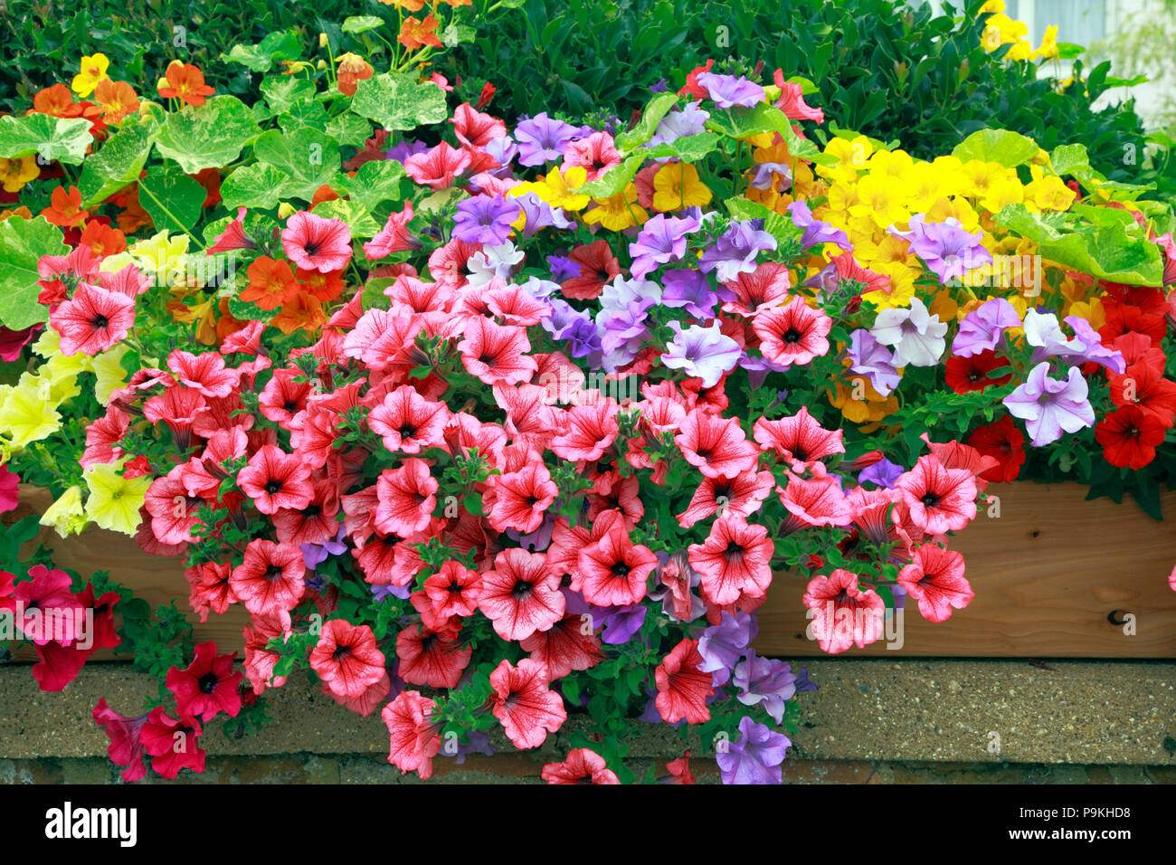 Petunia, Petunias, red, yellow, purple, pink, front garden wall, various colours - Stock Image