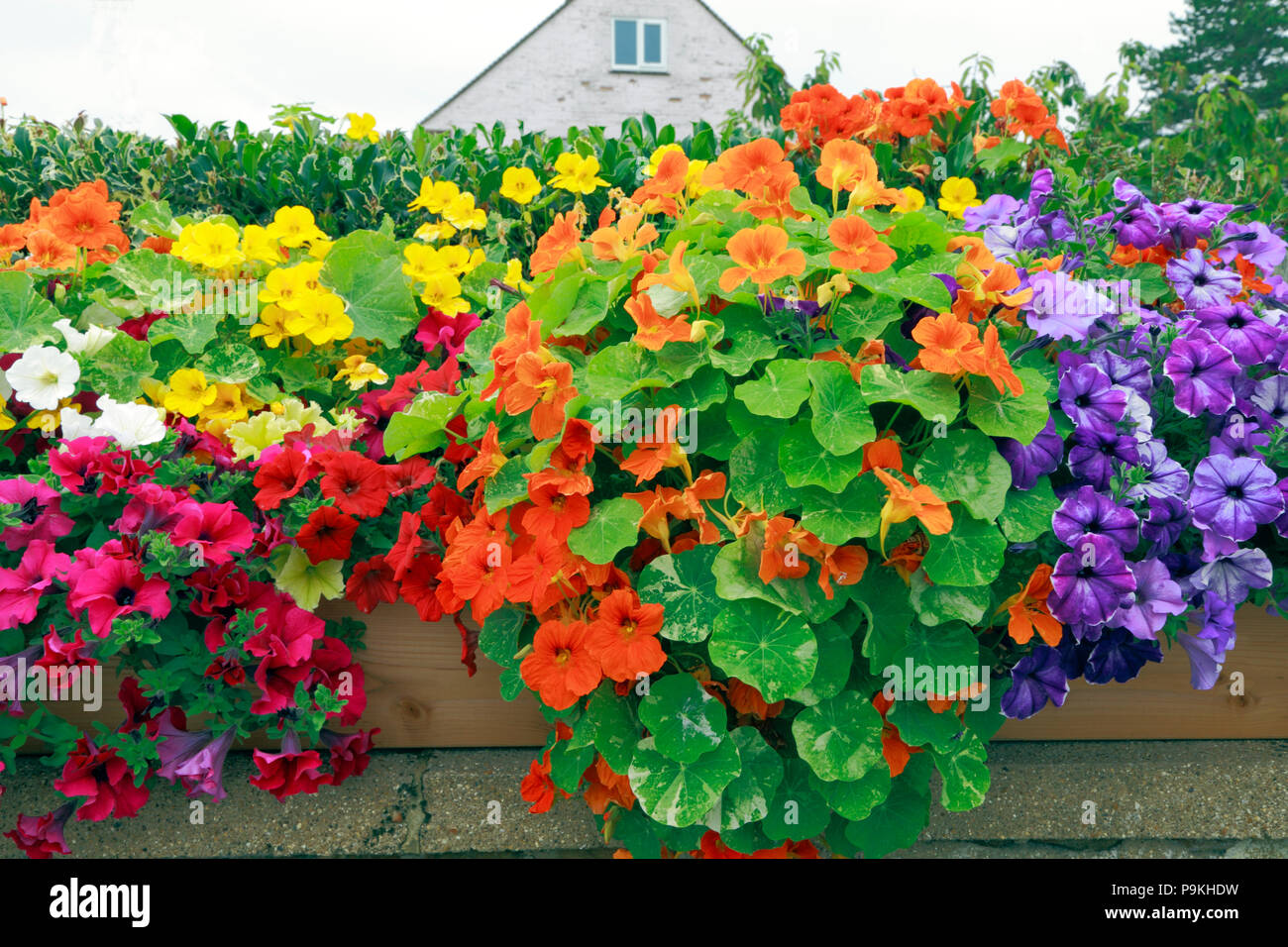 Petunias on wall, red, orange, yellow, white, purple, pink, various colours - Stock Image